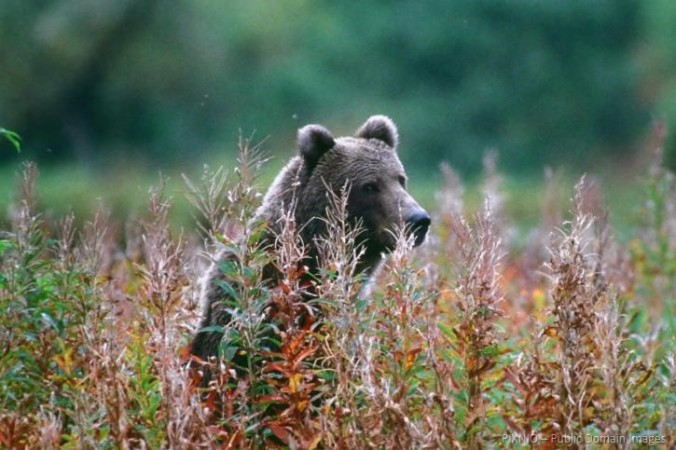 bear-standing-among-tall-grasses-725x483