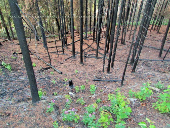 Awakening: New Life in a Burned Forest